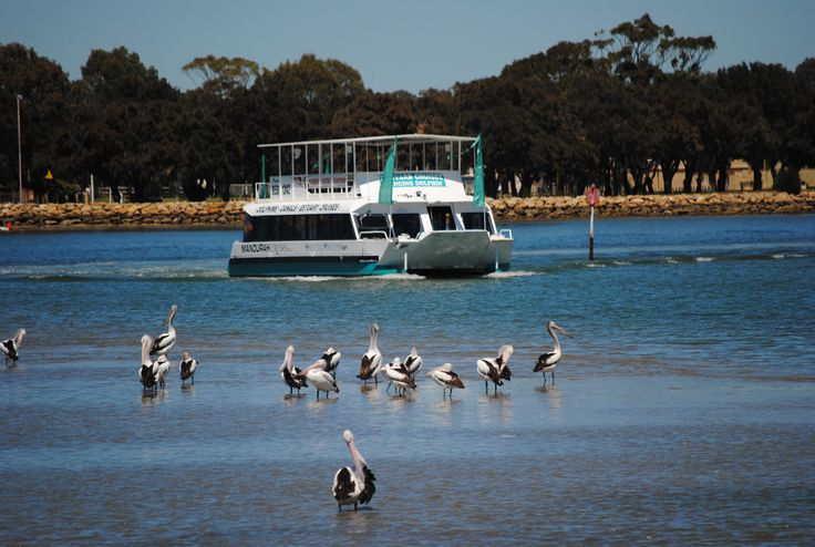 Cruising past Mandurah pelicans.