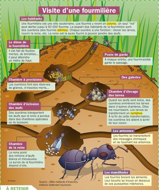 Fiche exposés : Visite d'une fourmilière