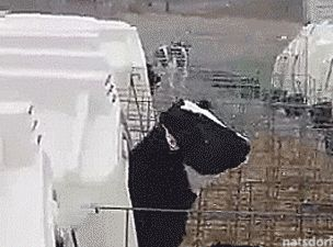 "thenatsdorf: ""Cow catching snowflakes. [full video] """