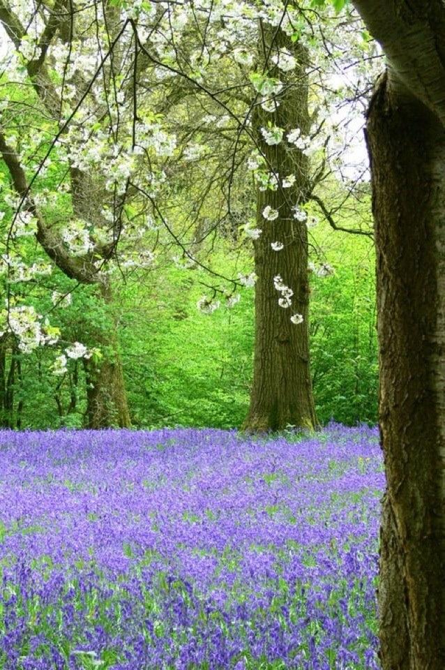 Blue bells - Cranbrook, Kent