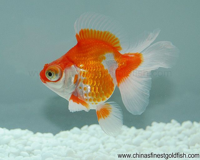 81 best images about hooked on goldfish on pinterest for Butterfly fish freshwater