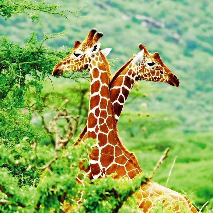 Un couple de girafes dans le salon avec ce tableau mural !