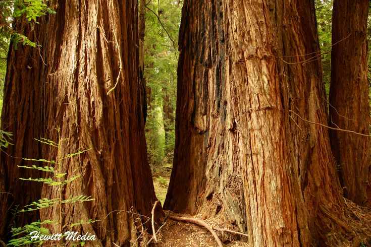 REDWOODS OF MUIR WOODS | The giant Redwood trees of Muir Woods National Monument near San Francisco, California are a beautiful sight to behold.  #travel #traveling #travelphotography #travelpics #travelphotos #wanderlust #travelbug #travelmore #travelblog
