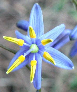 Blue-Flax Lily [Dianella caerulea; Family: Liliaceae] in Front-view
