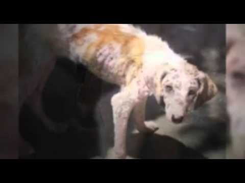 What Type Of Medication Can You Give Dog For Mange