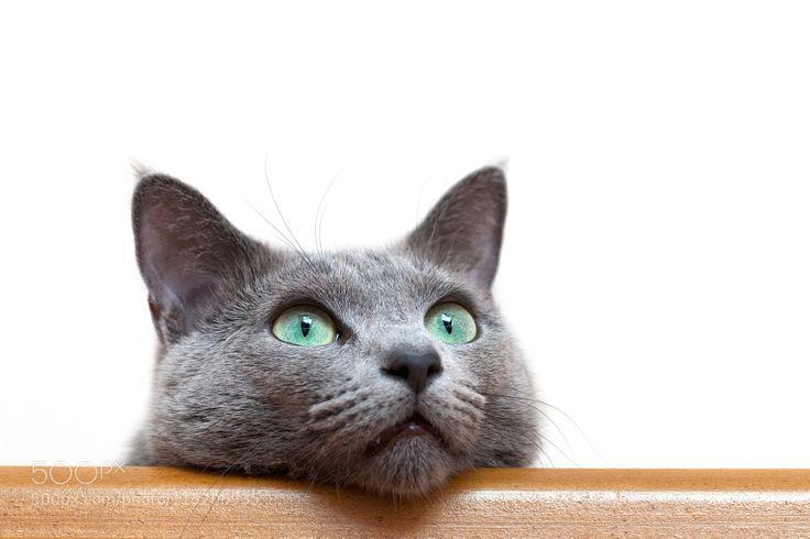 Russian Blue cat (Archangel Blue) by DmitryZinoviev ... Russian Blue With Green Eyes