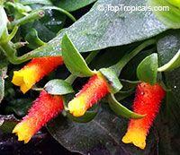 Manettia luteorubra - Firecracker, Candy Corn Vine  Click to see full-size image