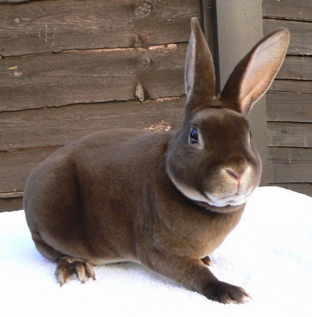 82 best Mini Rex Bunnies images on Pinterest | Bunny ...