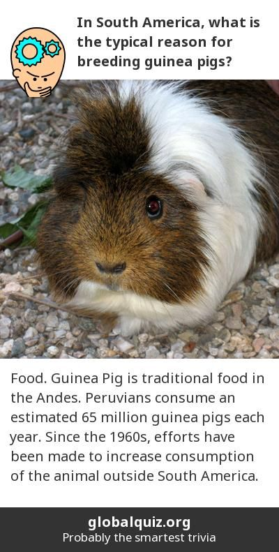 In South America, what is the typical reason for breeding guinea pigs? Food! Guinea Pig is traditional food in the Andes. Peruvians consume an estimated 65 million guinea pigs each year. Since the 1960s, efforts have been made to increase consumption of the animal outside South America.