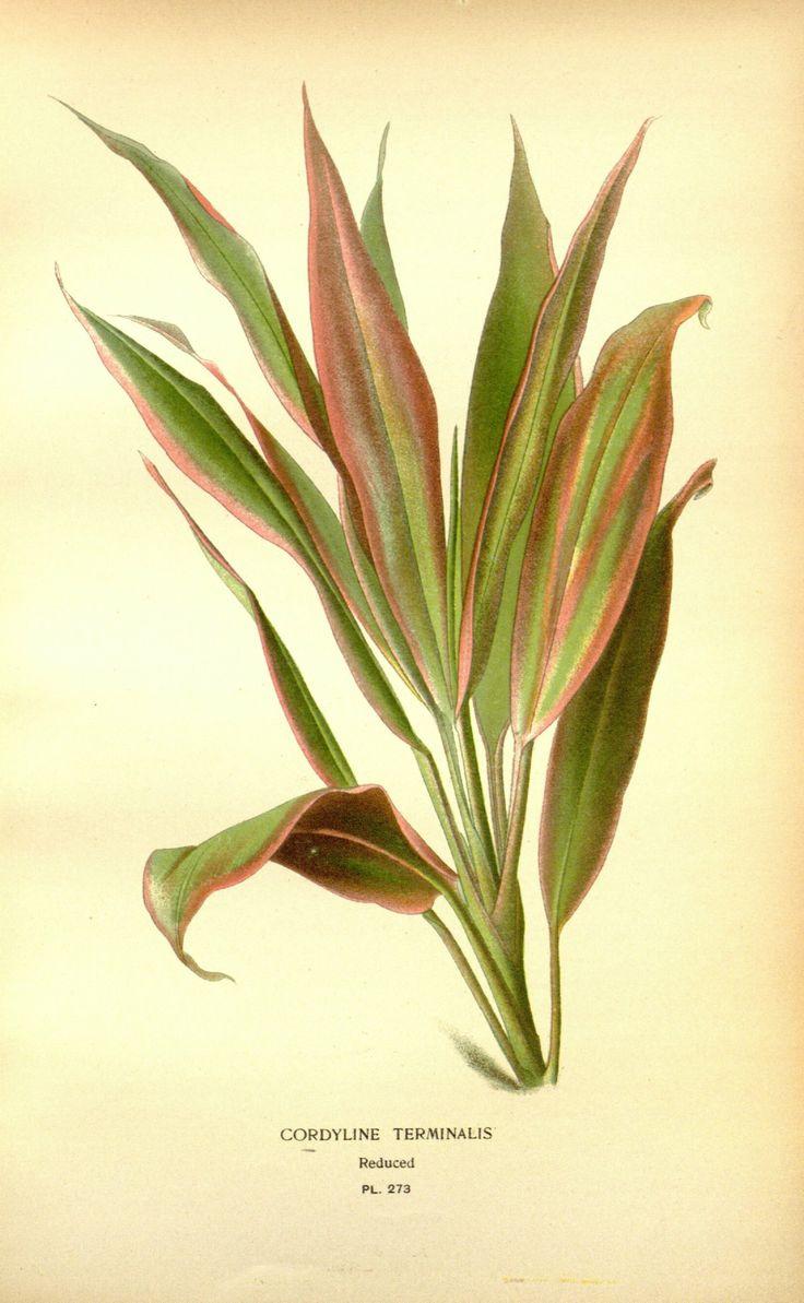 Cordyline fruticosa - circa 1897