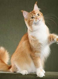 #MaineCoon #Red #Ticked&White #Cats