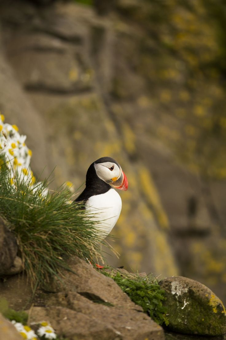 Puffins in North Iceland // Chris Tian