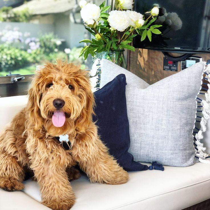 Throw Pillows Pillow Decor Goldendoodle Pretty Poodles Dog