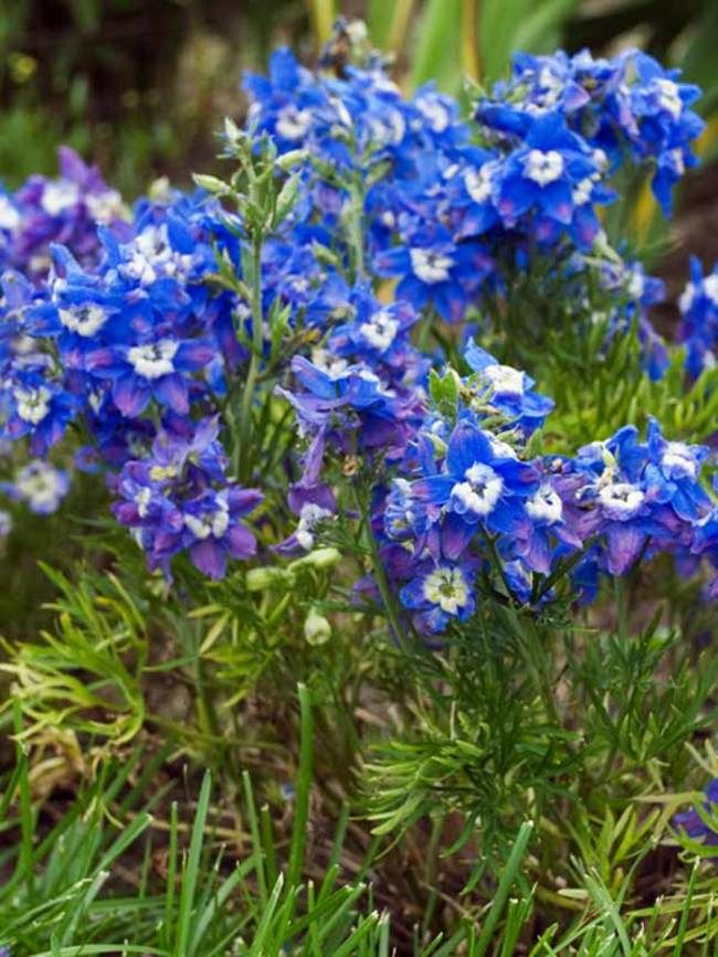 Abundant gentian blue flowers with white centers.