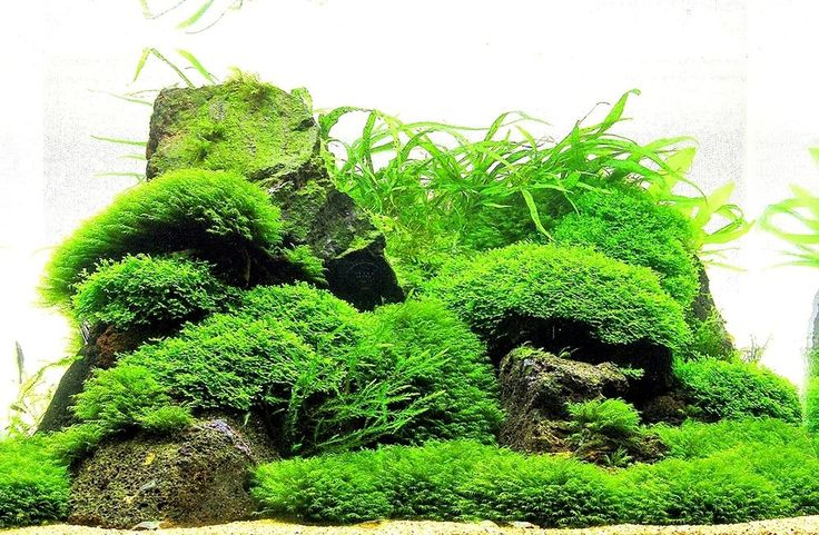 All mosses are very easy plants and is one of the best addition to any aquarium. They are very good for raising fry or shrimp. There is no Asian import which are risk for your crustaceans! Very easy to add to the aquarium. | eBay!