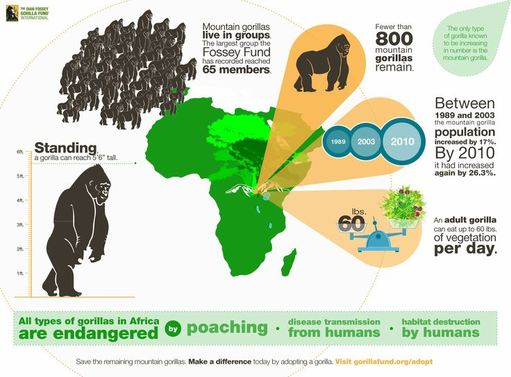 This infographic provides statistical data for the gorilla population in Africa. It also provides information for why gorillas are an endangered speci