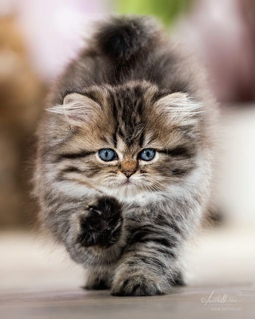 Baby Maine Coon kitten! I want one so bad, but Ry doesn't think Annabelle will be okay with a friend. :-(