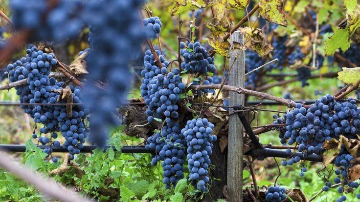 Vendemmia del Merlot, vitigni francesi, grappoli rossi, vini naturali, vigneti