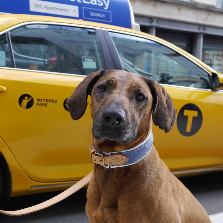 TOBS-dogs.com Globetrotter Lily the Ridgeback im Exklusiven TOBS Lachs Halsband in den Strassen New Yorks - sooo cool