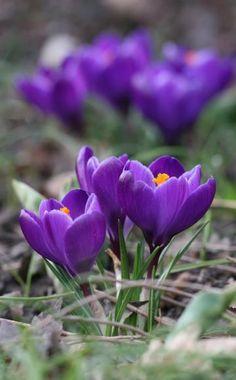 Krokusse (Crocus vernus) müssen im Oktober bis November gepflanzt werden. Die Pflanztiefe der Zwiebeln beträgt fünf bis zehnZentimeter. Krokusse blühen je nach Sorte und Standort im Februar/März