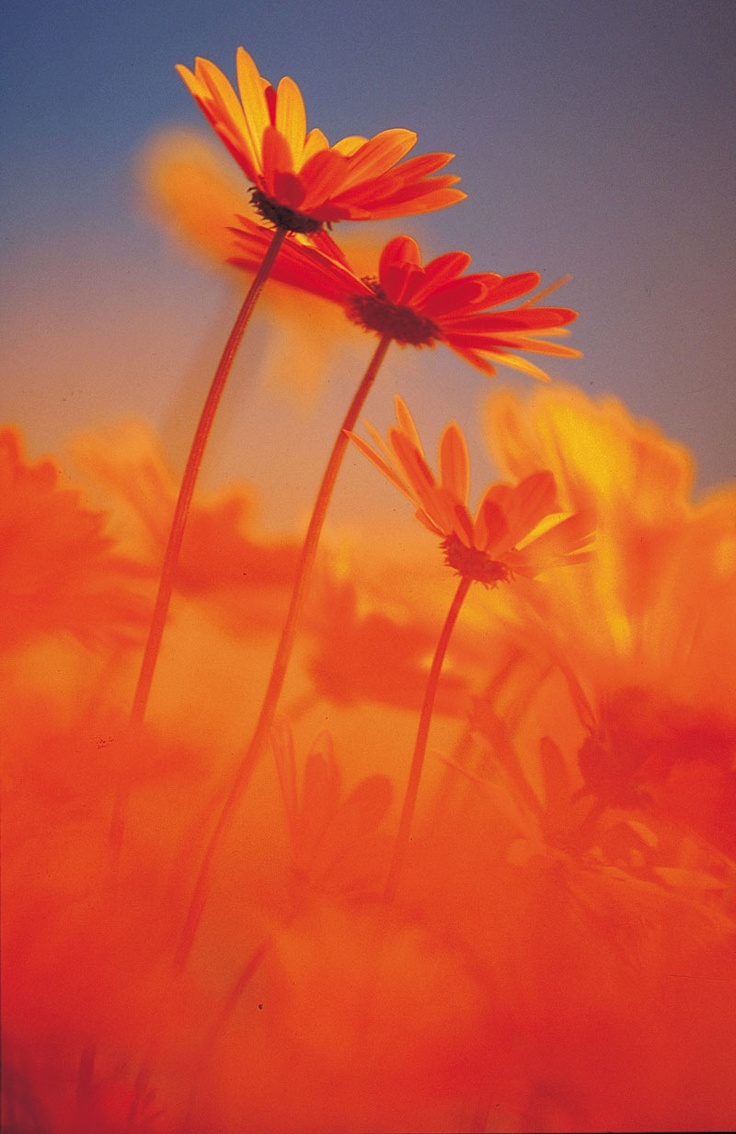 Namaqualand, south africa, field of flower, sunny colors