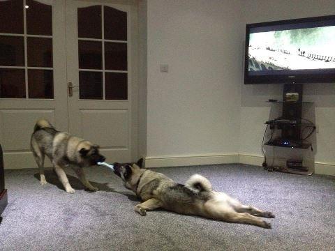 22 Best Norwegian Elkhounds Kennels Images On Pinterest