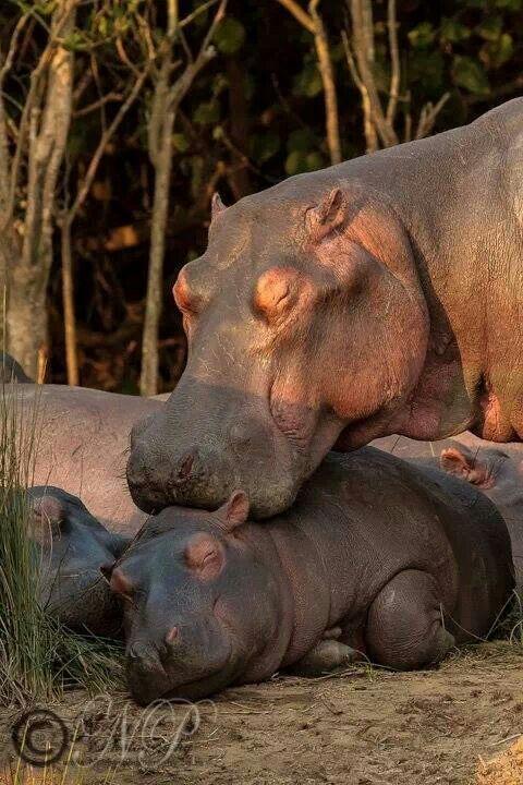 Mãe hipopótamo e seus filhotes.