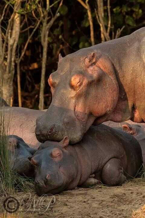 Hippo and calf