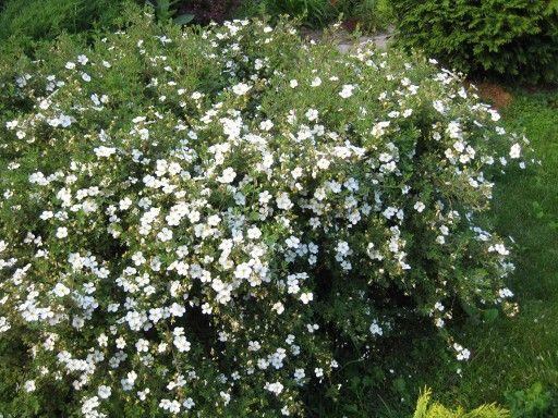 Всяко РАЗНОE, садовое IV. Potentilla fruticosa 'Abbotswood' (Природа)