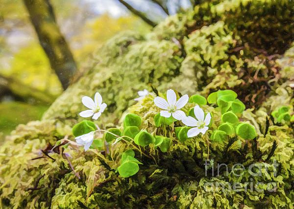 A clump of Wood Sorrel, Oxalis acetosella, growing on a mossy bank in a Scottish woodland.