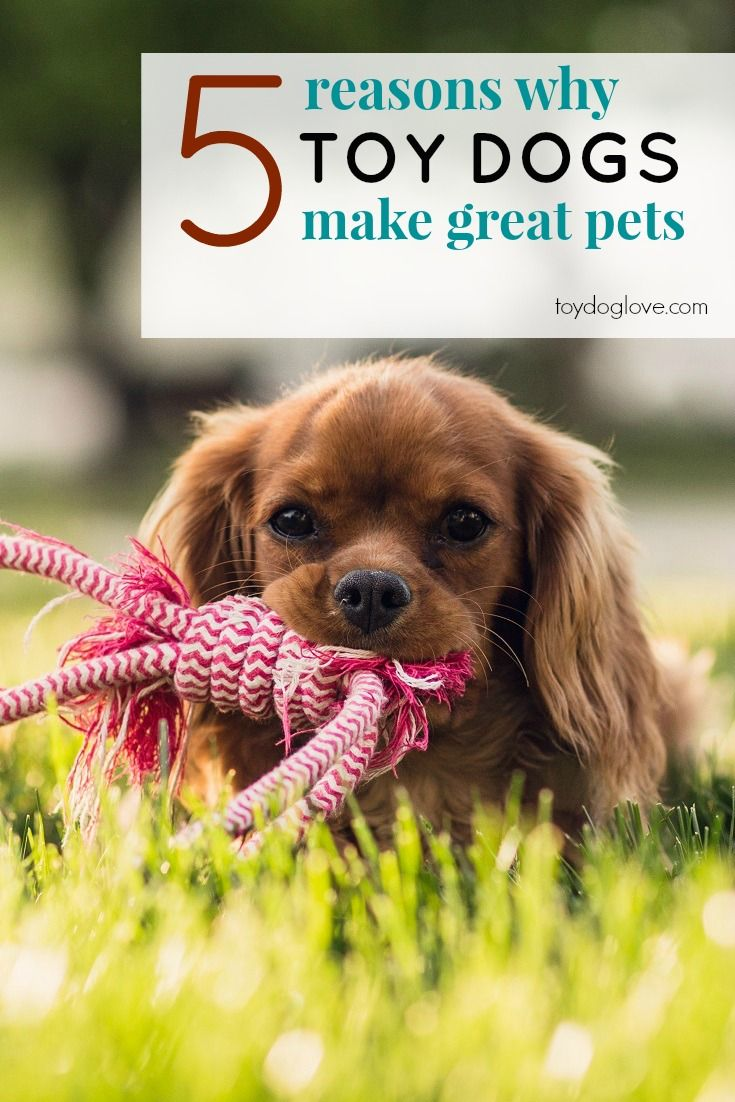 Thinking about getting a puppy or small dog? Here are reasons why toy breeds make great pets