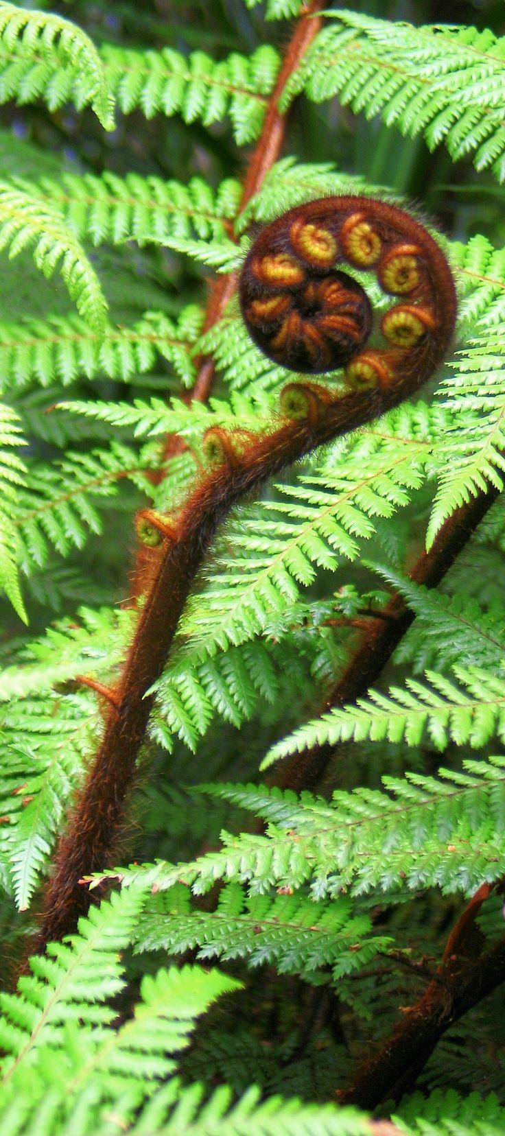 Koru in New Zealand Ferns
