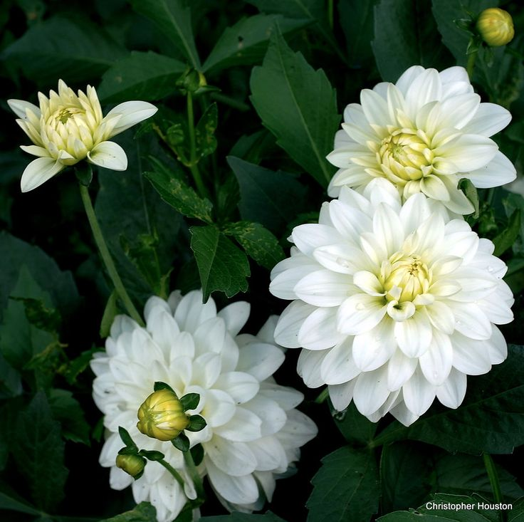 Wedding Flowers In February: 78 Best White Annuals Images On Pinterest