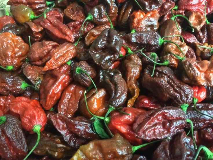 Chocolate Bhut Jolokia chillies