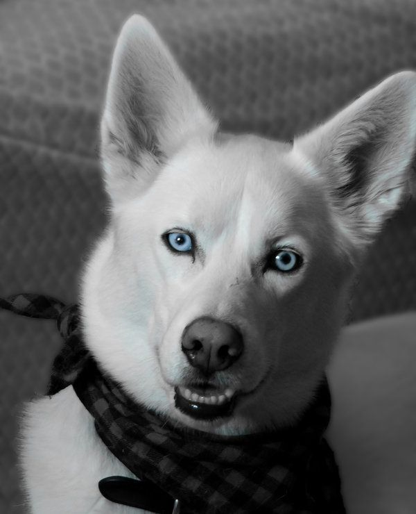 29 Best White Siberian Husky Images On Pinterest