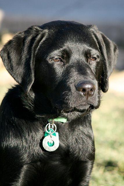 Jack, black lab. 4 1/2 months old.