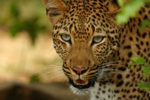 Leopard: The Spotted Cat: Leopard - <i>Panthera pardus</i>