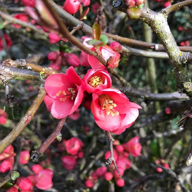 Flowering Quince season.  #chaenomeles #quince #remindsmeofmom #theurbangardener