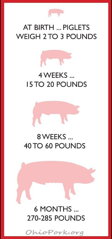 How fast a pig grows
