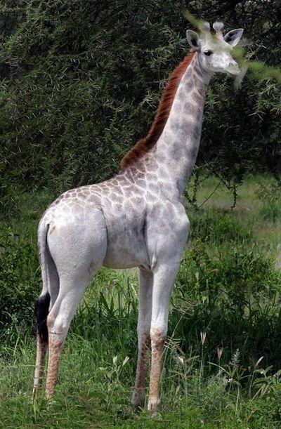 Rare white female giraffe spotted in Tanzania