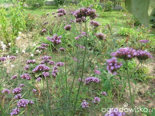 Werbena patagońska Werbena patagońska–Verbena bonariensisod zawsze stanowiła dla mnie cenny dodatek do ogrodu, ponieważ jest ładna, wabi kolorowe motyle i uprawa jej nie wymaga dużego zachodu ani wysiłku. Gdy nasiona jej pojawiły się w zachodnich sklepach (jakieś 15 lat temu), to bardzo szybko stała się popularną rośliną rabatową. U nas nasiona werbeny patagońskiej są nadal trudne do zdobycia, można je jednak kupić na internecie lub za granicą – i to jest chyba najtrudnieszy moment w…