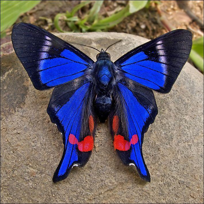 """Rhetus periander, una mariposa increíble"" que es una azul negaramn y hermosisisisisisisisissisisisissiisisissisma"