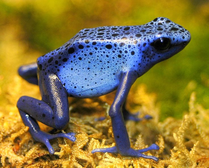 blue frogAnimal Pictures, Purple, American Indian, Breakfast, Poison Dart Frogs, Poison Darts Frogs, Colors Animal, Blue Frogs, Dots