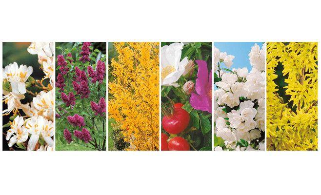 """Haie """"Fleurie et parfumée""""   arbustes fleurissant durant 8 mois (de janv à sept), culture facile en tous sols : 2 Syringa vulgaris + 2 Forsythia x intermedia 'Spectabilis'+ 2 Philadelphus 'Virginal'+2 Rosa rugosa + 2 Clethra alnifolia + 2 lonicera fragrantissima. 1,5 à 3m de haut"""