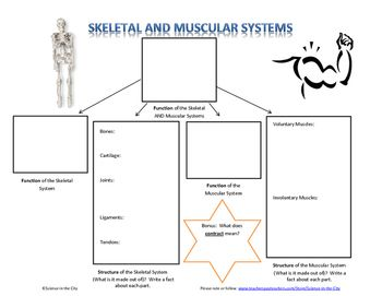 Skeletal and Muscular System Graphic Organizer  This is a graphic organizer that could be used with a reading or textbook for student notes, or completed together as notes on the board.   It focuses on structure and function of skeletal and muscular systems.