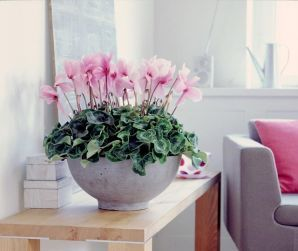 52 best Cyclamen images on Pinterest Plants Beautiful gardens