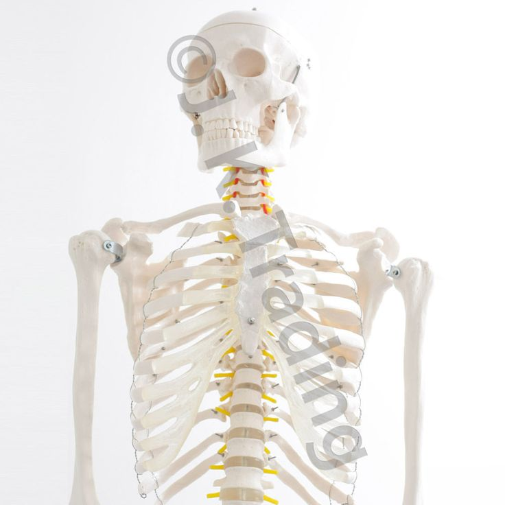 Life Size 180cm Full Body Human Skeleton Model Anatomy Model w Stand 90Day Gnt  | eBay