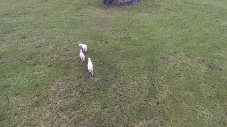 Using drone to herd sheep #farming #funny #drone