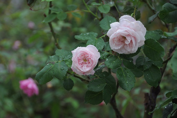 "Roses In Garden: 319 Best Old Roses,"" Bourbons,albas,cabbage,noisettes"
