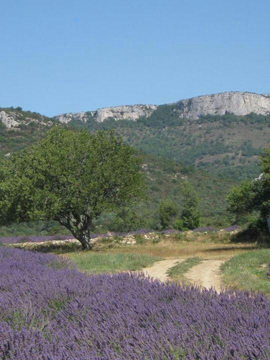 Ardeche, France. Lavender fields